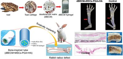 Bone‐Inspired Tube Filling Decellularized Matrix of Toad Cartilage Provided an Osteoinductive Microenvironment for Mesenchymal Stem Cells to Facilitate the Radius Defect Repair of Rabbit