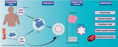 Historical evolution of spheroids and organoids, and possibilities of use in life sciences and medicine