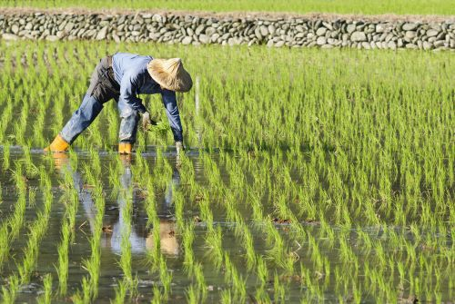 Regulators Classify Gene-Edited Rice Varieties with Disease Resistance as Equivalent to Conventional Varieties