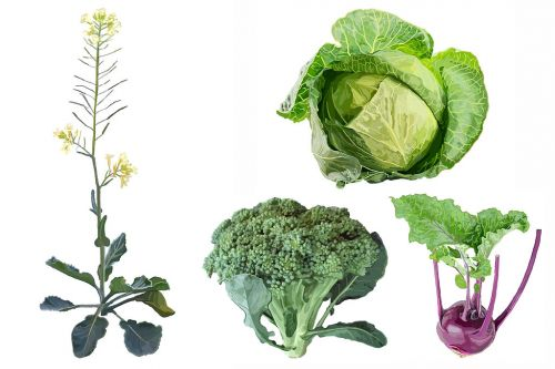 A feral past may help chart the future for Brassica vegetables