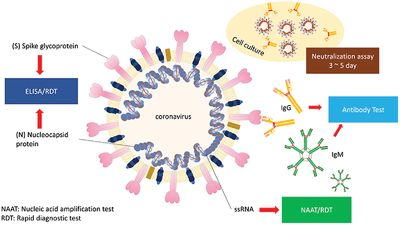 Molecular Targets for the Testing of COVID‐19