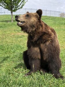 Iso-Seq Analysis Provides Insights into Feats of Physiology of Hibernating Bears