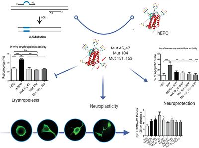 Novel erythropoietin‐based therapeutic candidates with extra N‐glycan sites that block hematopoiesis but preserve neuroplasticity