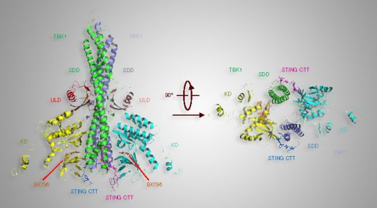 X-Ray Studies Key in Study Relating to Immune System-Signaling Protein