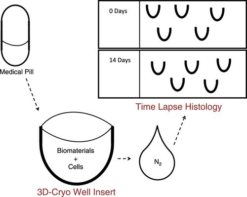 3D Culture Histology Cryosectioned Well Insert Technology Preserves the Structural Relationship between Cells and Biomaterials for Time‐Lapse Analysis of 3D Cultures